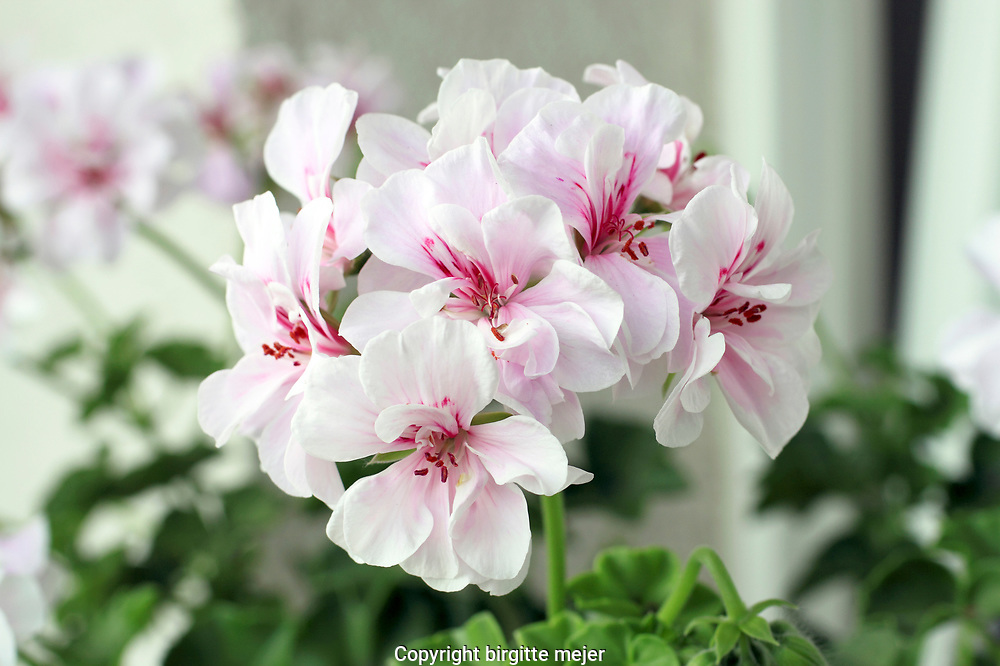 Pelargonium graveolens are flowering plants that include about 200 species, also known as geraniaceae.