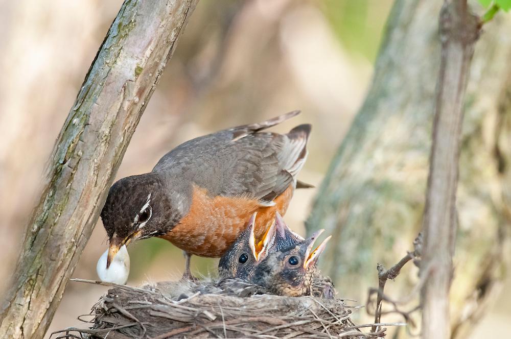 American Robin, Turdus Migratorius, female at nest, removing fecal sac, Magee Marsh, Ohio