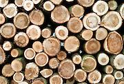 Nederland, Ooijpolder, 30-10-2002..Onderhoud van populieren bos langs de Waal.Populierenstammen liggen opgestapeld om verwerkt te worden. houtkap staatsbosbeheer..Foto: Flip Franssen/Hollandse Hoogte