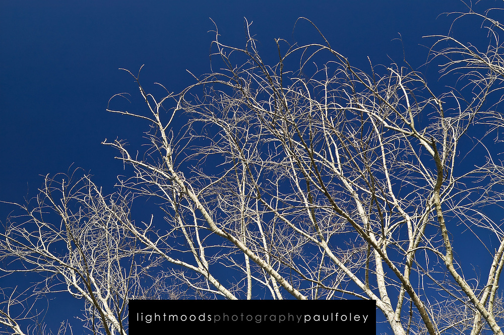 Dying Tree against a blue sky
