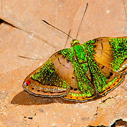 Castilia Metalmark butterfly, Cristalino Jungle lodge Conservation Area, Amazon Brazil
