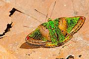 Castilia Metalmark butterfly, Cristalino Jungle lodge Conservation Area, Amazon Brazil