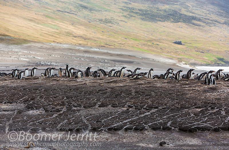 Gentoo Penguins ( Pygoscelis papua) nest on a rocky knoll on a beach on Saunders Island.  Falkland Islands.