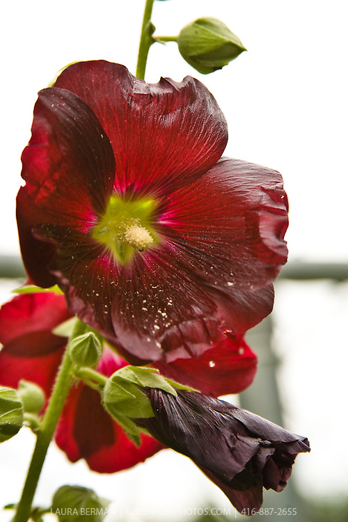 Alcea rosea - Common Hollyhock.