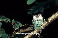 01162-021.07 Ruby-throated Hummingbird (Archilochus colubris) nestlings, Marion Co.   IL