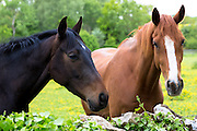 Chestnut and dark bay horses in summertime in a field in Devon, UK