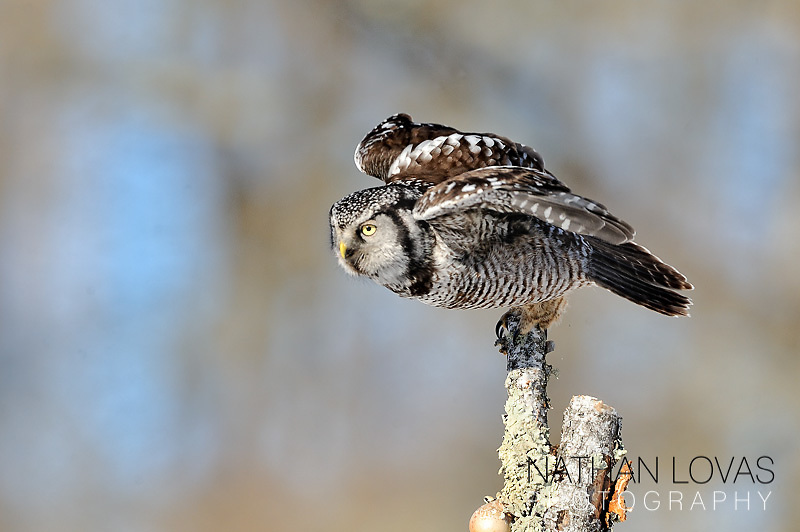 Northern Hawk Owl (Surnia ulula), adult taking off from branch;  Minnesota.