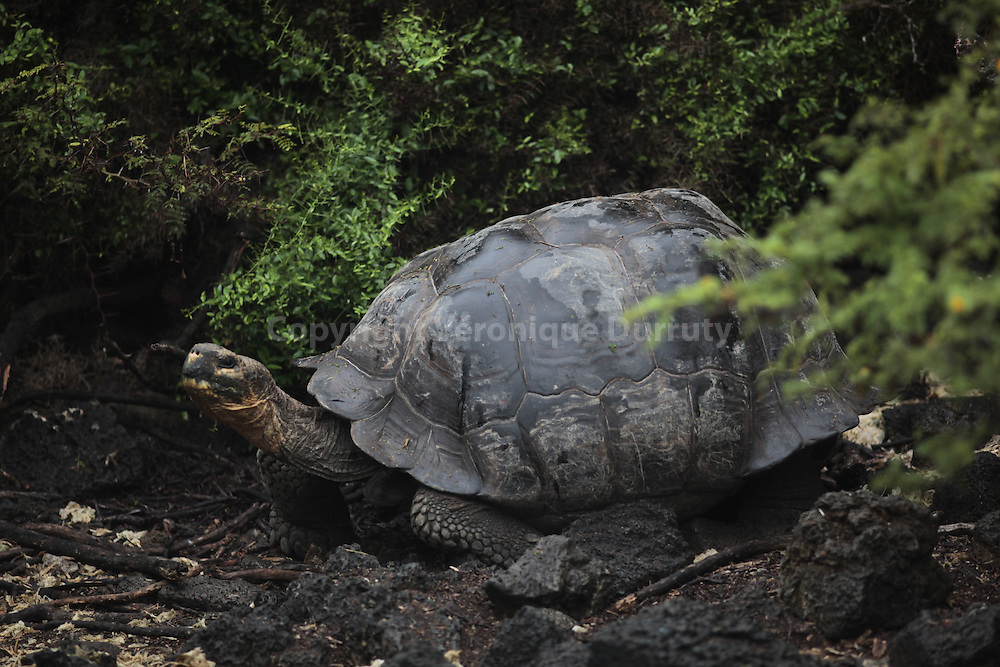 """The Galapagos tortoise or Galapagos giant tortoise (Chelonoidis nigra) is the largest living species of tortoise, reaching weights of over 400 kg (880 lb) and lengths of over 1.8 meters (5.9 ft). With life spans in the wild of over 100 years, it is one of the longest-lived vertebrates. A captive individual lived at least 170 years..The tortoise is native to seven of the Galapagos Islands, a volcanic archipelago about 1,000 km (620 mi) west of the Ecuadorian mainland. Spanish explorers who discovered the islands in the 16th century named them after the Spanish galapago, meaning tortoise..Tortoise numbers declined from over 250,000 in the 16th century to a low of around 3,000 in the 1970s. The decline was caused by hunting for tortoise meat and oil, habitat clearance for agriculture, and introduction of non-native animals such as rats, goats, and pigs. Seven subspecies of the original ten survive in the wild. An eighth subspecies (C. n. abingdoni) has only a single living individual, in captivity, nicknamed Lonesome George. Conservation efforts beginning in the 20th century have resulted in thousands of captive-bred juveniles being released onto their home islands, and it is estimated that numbers exceeded 19,000 at the start of the 21st century. Despite this rebound, the species as a whole is classified as """"Vulnerable"""" by the International Union for Conservation of Nature (IUCN)."""