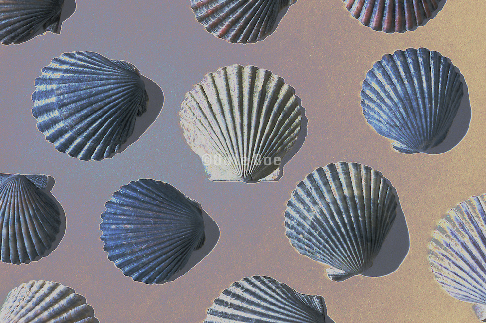 Seashells with shadows