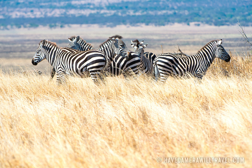 A herd of zebras stands watchfully in the long grass at Tarangire National Park in northern Tanzania not far from Ngorongoro Crater and the Serengeti.