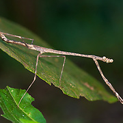 Adult female of the Mantodea genus Euchomenella. Mantodea (or mantises, mantes) is an order of insects that contains over 2,400 species and about 430 genera