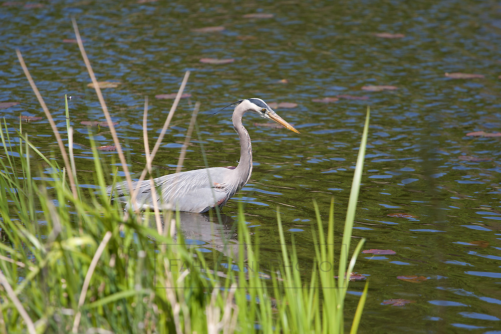 A Great Egret hunts for fish in a small restored habitat near Lake Nokomis