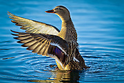 Stokkand danser i sjøen | Mallard dancing in the sea