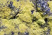 Schwefelflechte auf Fels, Sächsische Schweiz, Elbsandsteingebirge, Sachsen, Deutschland | gold dust lichen, Saxon Switzerland, Saxony, Germany