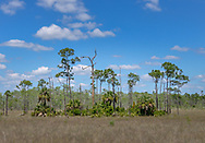 A pine hammock in Big Cypress National Preserve.