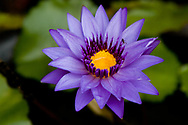 Blue Lotus Flower, Thailand