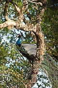 Peacock at Yala National Park.