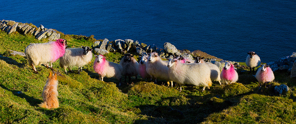 Sheep and dog at Cliffs, Co. Kerry / bs051
