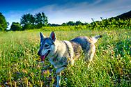 Czechoslovakian wolfdog on the field. Ayegui, Navarre, Spain.