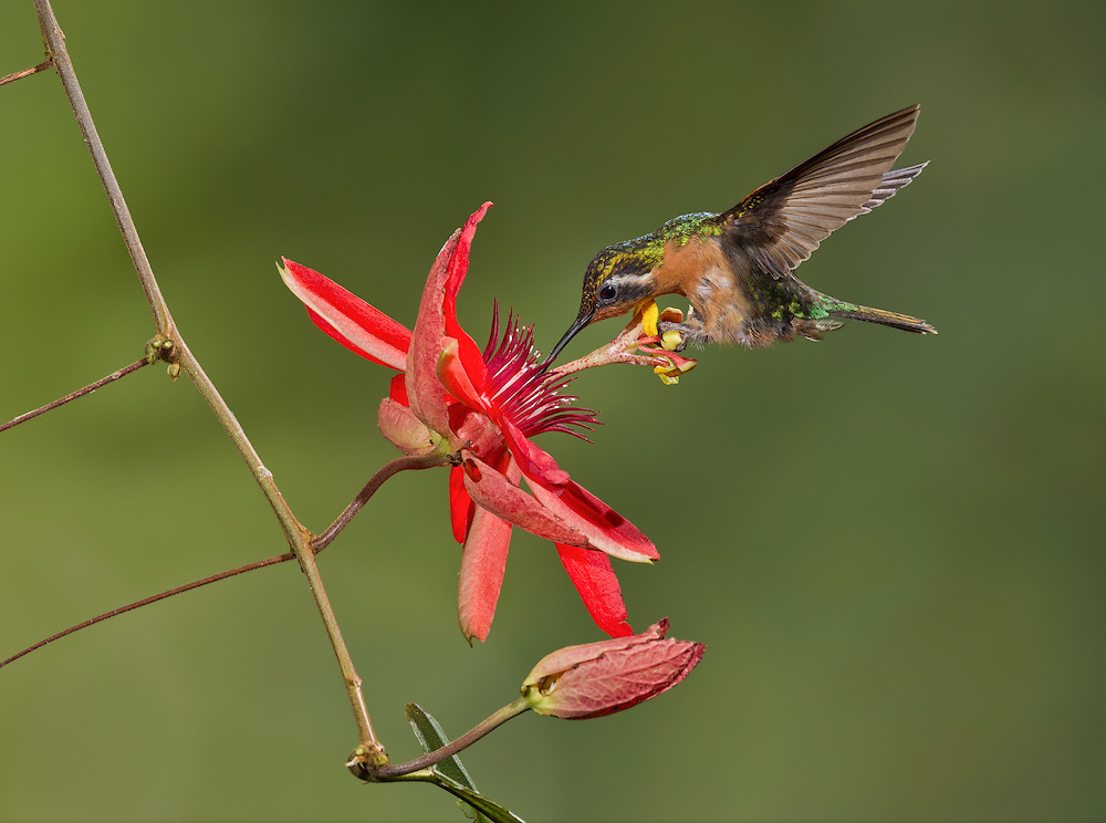 Purple-throated Mountain gem (Lampornis calolaemus), female nectoring at a Passion flower