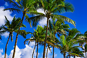 Coconut palms, Kapaa, Kauai, Hawaii USA