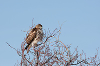 A Red Tailed Hawk sits and watches for mice and rabbits from the top of a tree after a snow storm the night before.