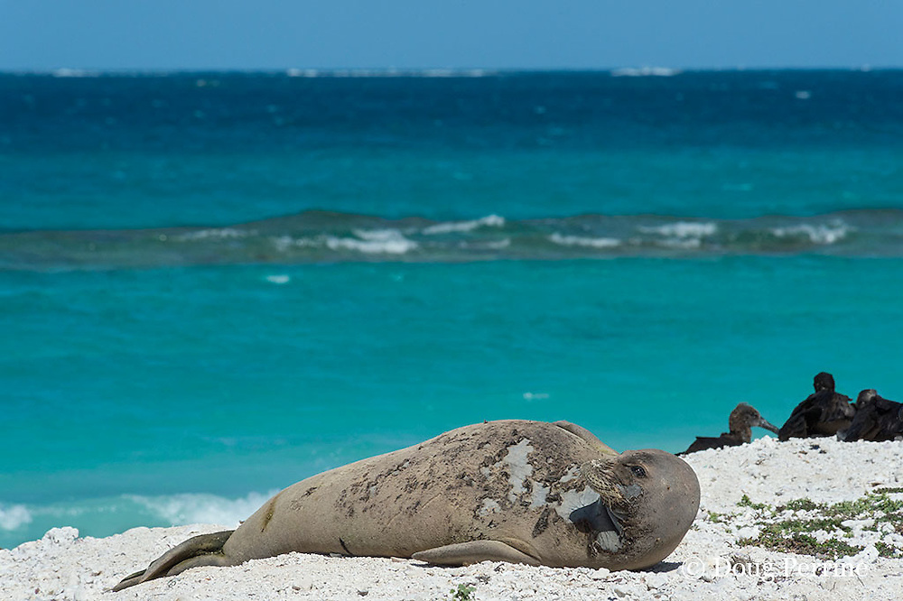endemic Hawaiian monk seal, Monachus schauinslandi ( Critically Endangered Species ), resting on beach while shedding skin and fur during annual molt or moult, black-footed albatrosses, Phoebastria nigripes, in background, East Island, French Frigate Shoals, Papahanaumokuakea Marine National Monument, Northwest Hawaiian Islands, USA ( Central Pacific Ocean )