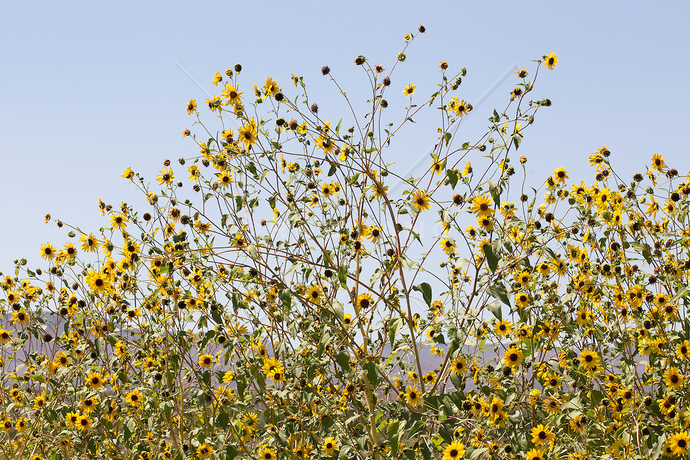 sunflowers against the sky in New Mexico