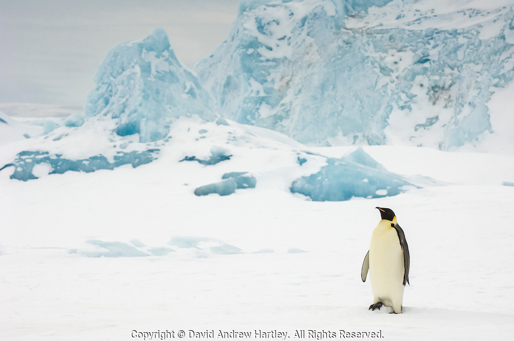 An adult Emperor Penguin (Aptenodytes forsteri) in its icy environment, Snow Hill Island, Weddell Sea, Antarctica.