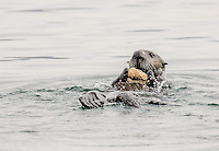 Sea Otter [Enhydra lutris] feeding; using rock to open clam, Morro Bay, California