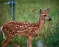 Spots, the young Fawn in my Backyard.. Image taken with a Nikon D5 camera and 600 mm f/4 VR lens