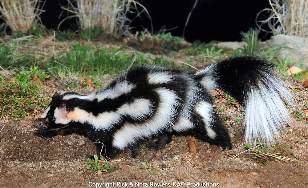 Western Spotted Skunk <br /> Spilogale gracilis<br /> Tucson, Pima County, Arizona, United States<br /> 20 February      Adult    Mephitidae