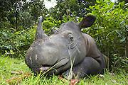 Sumatran Rhinoceros <br /> Dicerorhinus sumatrensis<br /> Sumatran Rhino Sanctuary, Way Kambas National Park, Indonesia<br /> *Critically Endangered<br /> *Captive