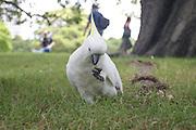 Wild sulphur crested Cockatoo in a park, Sydney, Australia