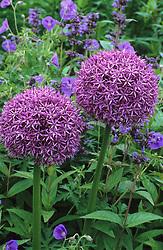 Allium 'Globemaster' growing through 'Geranium 'Brookside' at Glen Chantry