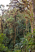The cloud forest near Bellavista Lodge, in the Mindo area, Ecuador.