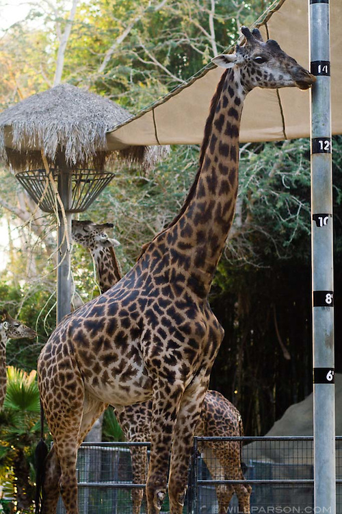 A giraffe stands next to a height measure at the San Diego Zoo