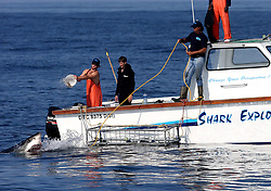 "EXCLUSIVE: Just when you thought it was safe to go back in the water… Great white sharks that once instilled fear around a small island off the coast of Cape Town, South Africa, have not been seen in months. Seal Island became one of the best locations in the world for tourists to see the three-ton predators in their natural habitat and to witness the phenomenon known as ""Air Jaws"" in which sharks attack seals from underneath and emerge completely from the water. But reports have claimed that there have been no recently sightings of the creatures and the disappearance remains a mystery. 29 Aug 2019 Pictured: Great White Shark. Photo credit: Dan Callister / MEGA TheMegaAgency.com +1 888 505 6342"