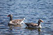 Graylag geese, Anser anser, on Tarn Hows lake, in the Lake District National Park, Cumbria, UK