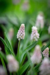Muscari 'Pink Sunrise' - Grape hyacinth