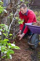 Mulching apple cordon fruit trees grown against a fence using strulch