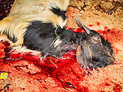 12 SEPTEMBER 2016 - BANGKOK, THAILAND: A sacrificed ram bleeds out during the Qurbani (ritual sacrifice of livestock) at the celebration of Eid al-Adha at Haroon Mosque in Bangkok. Eid al-Adha is also called the Feast of Sacrifice, the Greater Eid or Baqar-Eid. It is the second of two religious holidays celebrated by Muslims worldwide each year. It honors the willingness of Abraham to sacrifice his son, as an act of submission to God's command. Goats, sheep and cows are sacrificed in a ritualistic manner after services in the mosque. The meat from the sacrificed animal is supposed to be divided into three parts. The family retains one third of the share; another third is given to relatives, friends and neighbors; and the remaining third is given to the poor and needy.          PHOTO BY JACK KURTZ