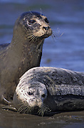 Harbor Seal <br /> Phoca vitulina<br /> Mother &amp; 3-4 wk old pup hauled out on mudflat<br /> Monterey Bay, CA, USA