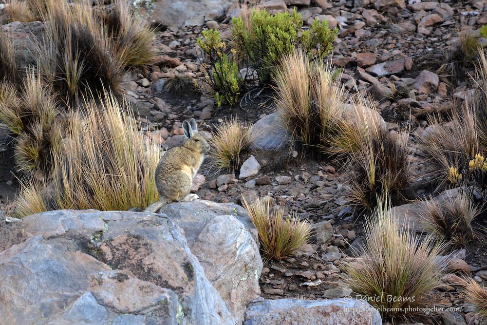 Viscacha animal in Sajama National Park, Bolivia