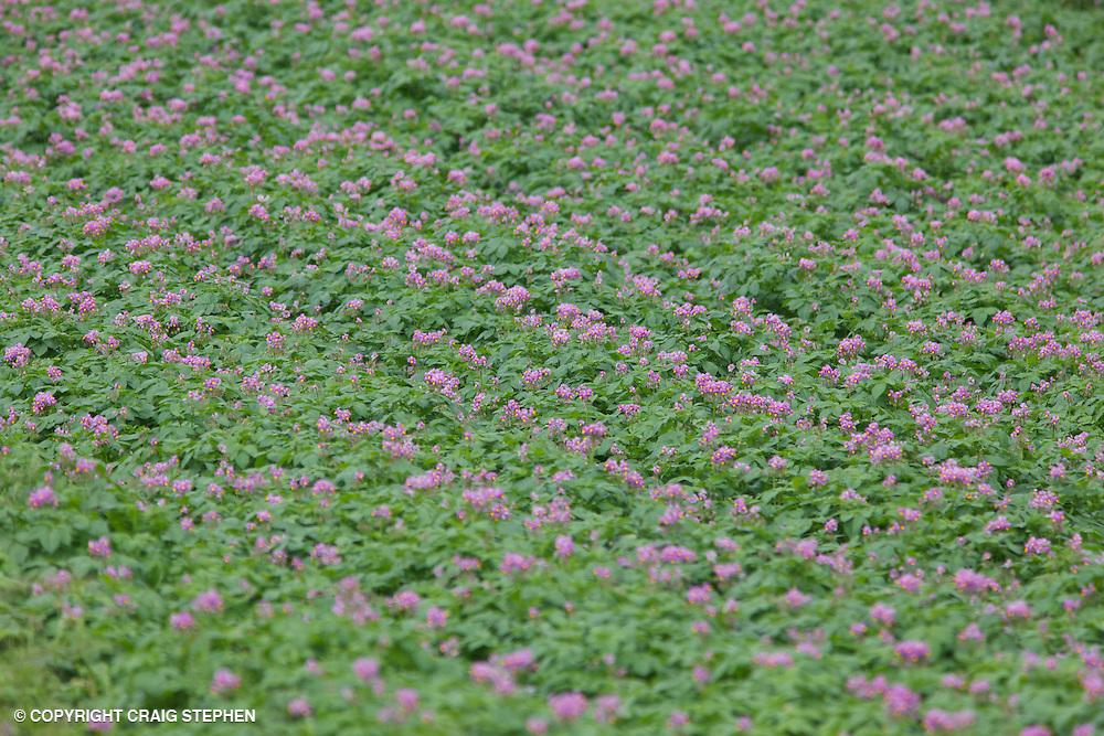 Field of potatoes in flower in Perthshire, Scotland