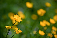 Close-up Image of Beautiful Yellow Buttercup flowers on a lawn in spring