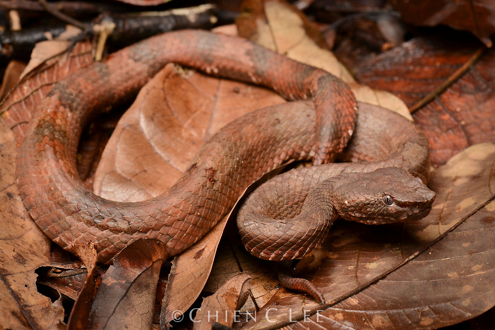 The Bornean Leaf-nosed Pit Viper (Trimeresurus borneensis) is a well-camouflaged snake, frequently occuring on the forest floor or in low vegetation. They strike readily when disturbed. Sarawak, Malaysia.