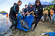 Volunteer veterinarians and workers transport a manatee at the health assessment organized by the USGS in Crystal River, FL.  The manatee will be given an overall health assessment of blood, weight and oxygen tests, and then released.