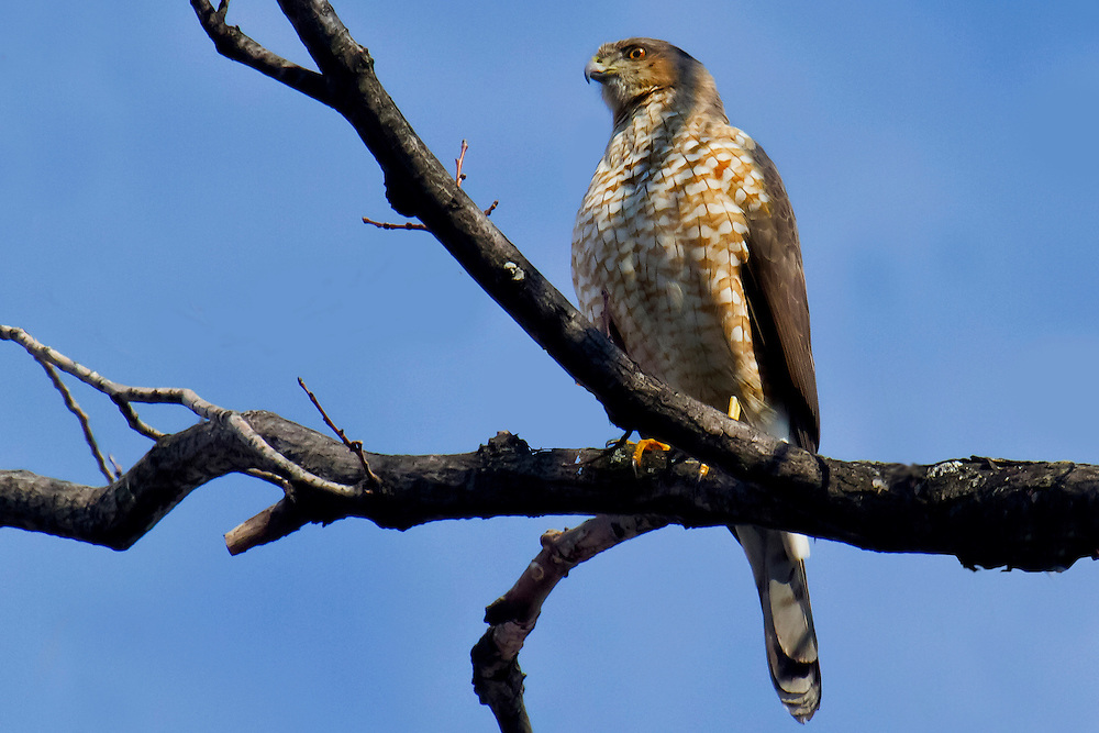 A Cooper's Hawk in a tree in Prospect Park next to the lake. February 2011. He or she was looking for a bird on the ground near a spot on the lake which the birds prevented from freezing.