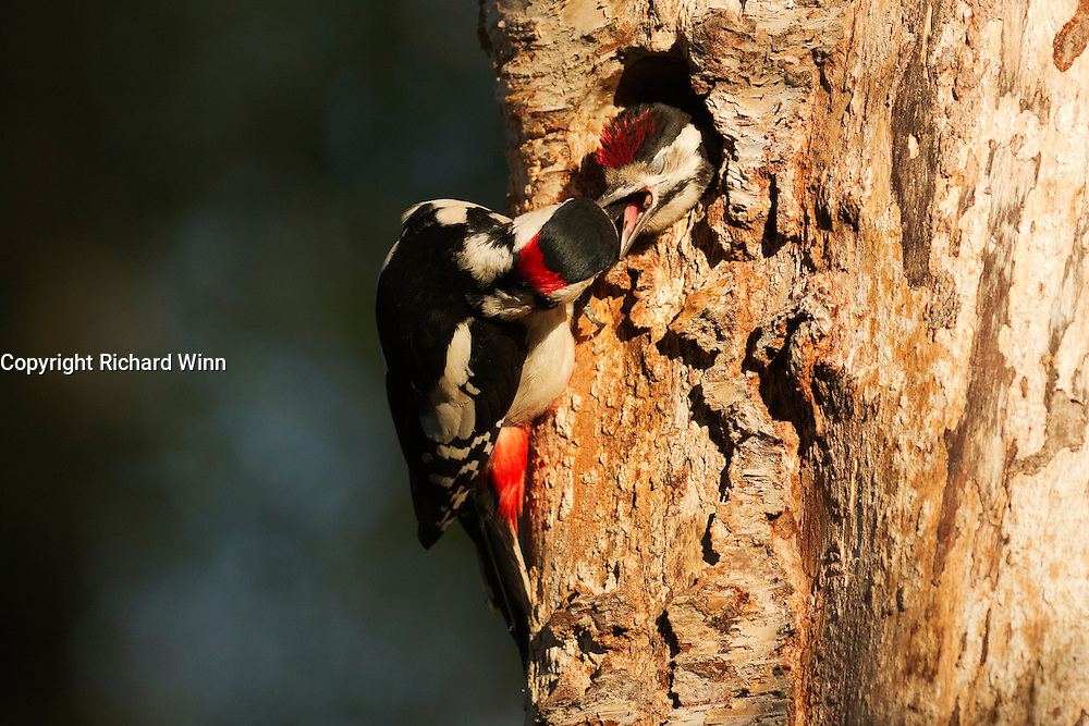 Male great spotted woodpecker feeding fledgling at nest. The young woodpeckers fledged a couple of days later.